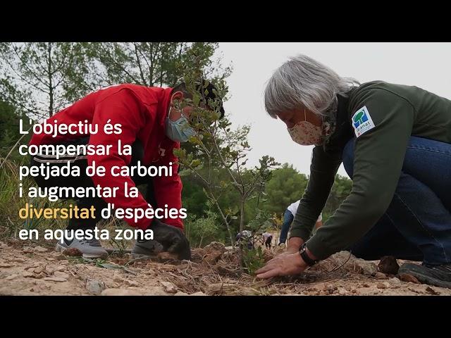 Reforestació del bosc de Bellver (Palma de Mallorca)