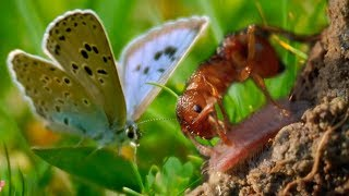 The Large Blue Butterfly Adopted By Ants | BBC Earth