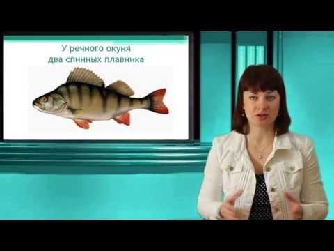 Речной окунь. Часть 1.  Надкласс Рыбы. Тип Хордовые. Онлайн подготовка к ЕГЭ по Биологии.