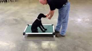 "Giant Schnauzer Puppy ""xena"" Obedience Shaping Training"