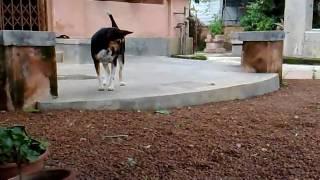 犬のポトール。 インドの犬。