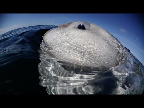 WSV: Humans act as cleaning station for giant sun fish