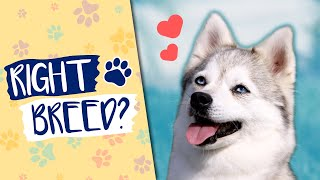 Are Alaskan Klee Kai The Right Dog Breed For You?