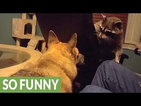 Raccoon and dog share unusually amazing friendship