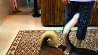 Vietnam: Hoi an family run restaurant Red Gecko playing dogs