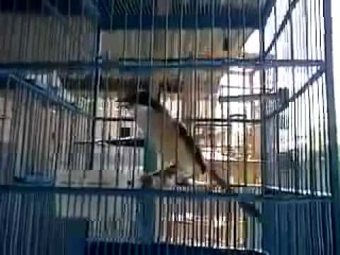 Mirip Suara Kucing Padahal Burung Pentet