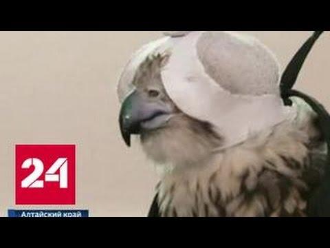 Столичные орнитологи вернули на Алтай пятерых соколов-балабанов, изъятых у контрабандистов