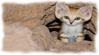 МИНУТКА КРАСОТЫ Барханные кошки