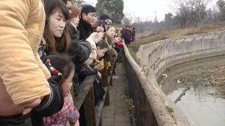 Live chicken thrown to lions at Yangcheng Safari Park, Changzhou, China (3)