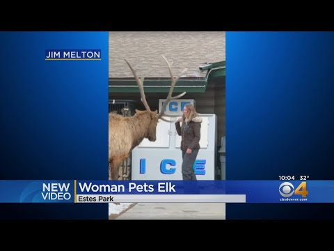 Laura - Woman in Estes Park seen trying to pet a bull elk