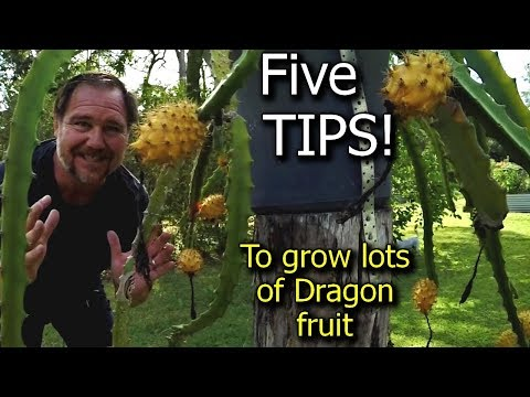 5 Tips How to grow a ton of dragon fruit