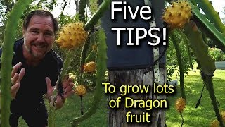 5 Tips How to grow a ton of dragon fruit