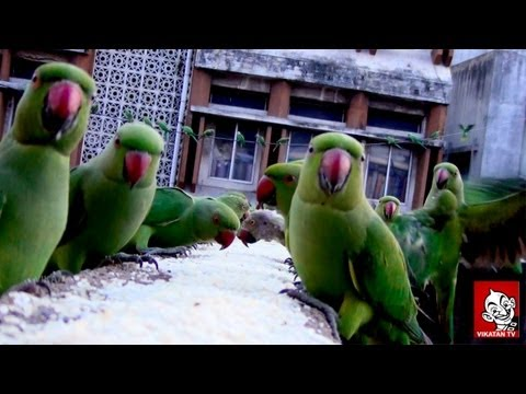Parrots sanctuary in Chennai –  Every day, hundreds of Parrots make a visit to Royapettah