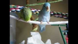 How Parrotlets eat their Cherios