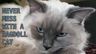 Never Mess With A Ragdoll Cat (Bowie The Ragdoll Cat & Bella The Lambkin Cat)