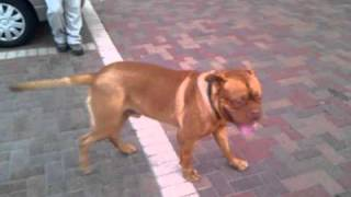 Dogue De Bordeaux Vs Pug - Dog Fight