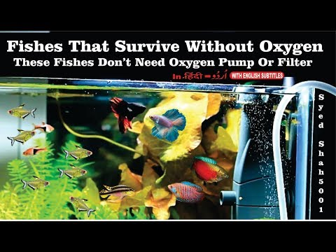 Fishes That Survive Without Oxygen These Fish Do Not Need Extra Oxygen In Aquarium
