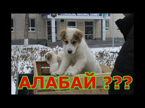 сколько стоит щенок??? Бойцовый Алабай
