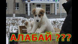 сколько стоит щенок ??? Бойцовый  Алабай