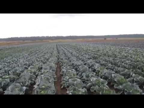 Выращивание капусты. Прибыльное дело.