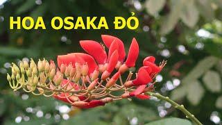 Có một loài hoa có tên là Ôsaka đỏ - Cuộc sống quanh ta: Số 659.