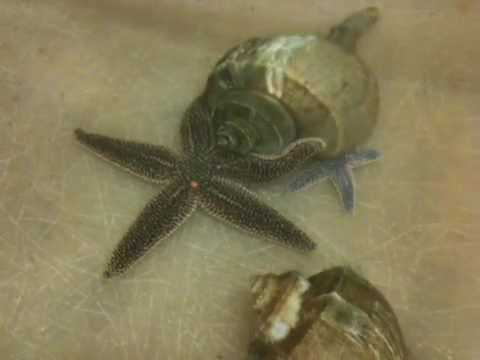 Thumbnail: Starfish battles snails to save baby