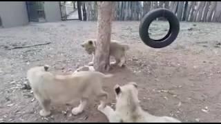 Lions Cubs vs Little dog