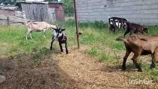 Jak zacząć hodowle kóz - najważniejsze informacje