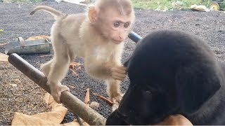 Baby Monkey Meets Cute Dog - Very Funny And Very Very Cute