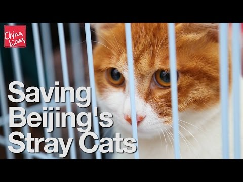 Saving Beijing's Stray Cats | A China Icons Video