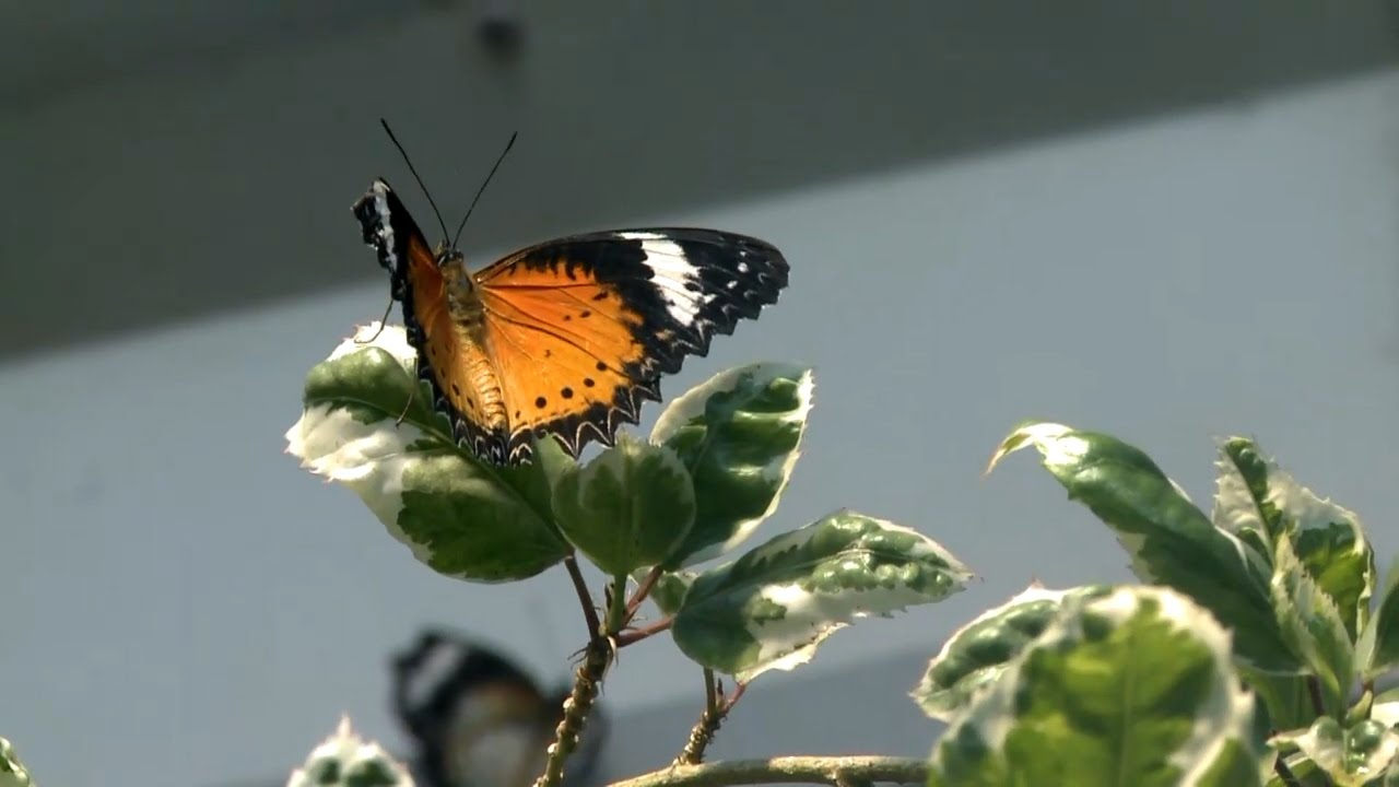 tucson botanical garden butterfly magic youtube