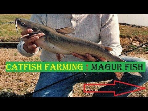 Catfish Farming ! Magur fish   starting tips in india in hindi  