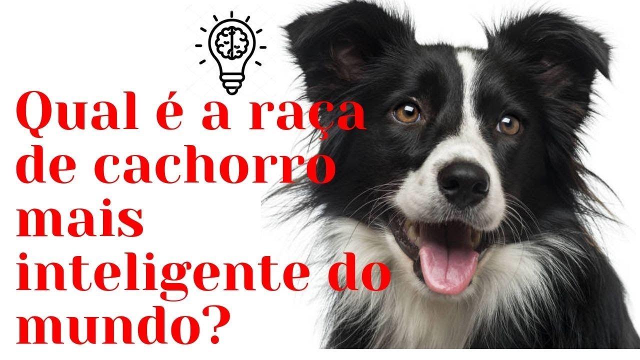 Qual A Raça De Cachorro Mais Inteligente Do Mundo Cachorro
