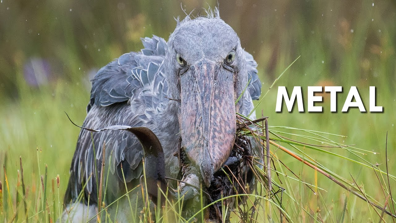 Shoebills are Metal