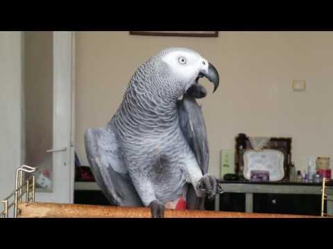 Konuşan Papağan Paşa.🦅