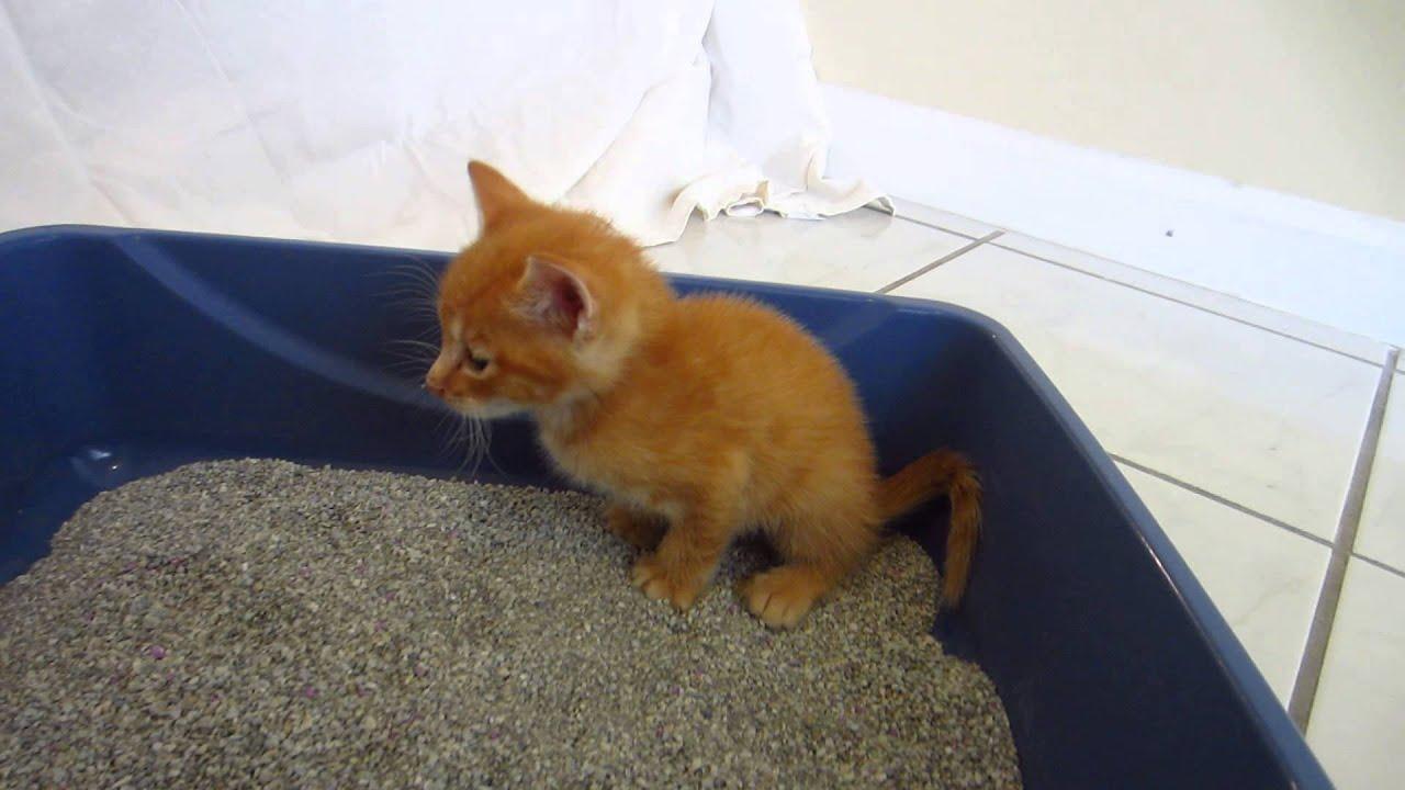 Cute Tiny Orange Foster Kitten Using Litter Box 3 Weeks Old