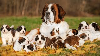 How Does Saint Bernard Dog Give Birth To 10 Cute Puppies ?
