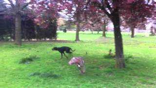 Devo & Ronnie Playing On The Park - Doberman And Weimaraner Puppies