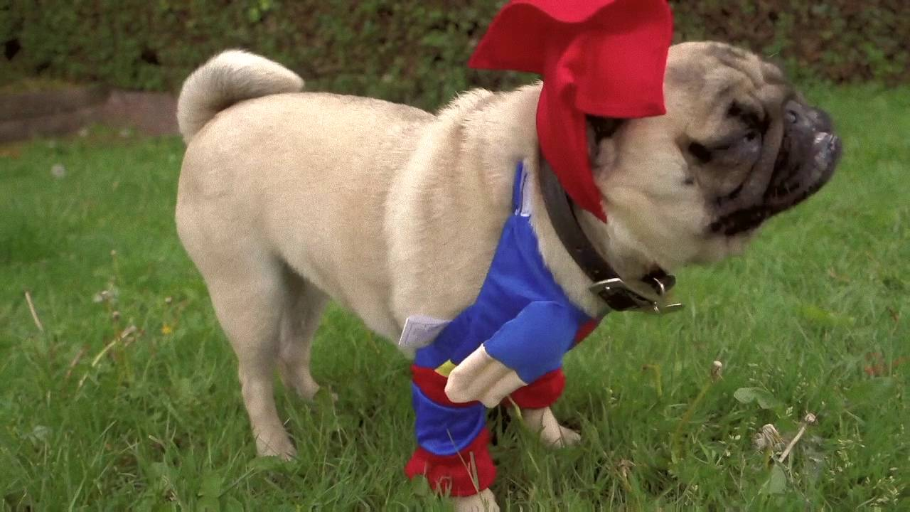 Just Patrick The Pug In A Superman Costume Nothing More Youtube