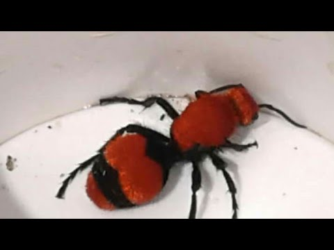 Stung By A Cow Velvet Ant Four Stings