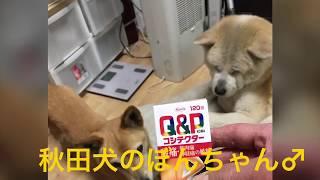 秋田犬、柴?、マルチーズの赤ちゃん。3匹の紹介VをiPhoneXのメモリー...