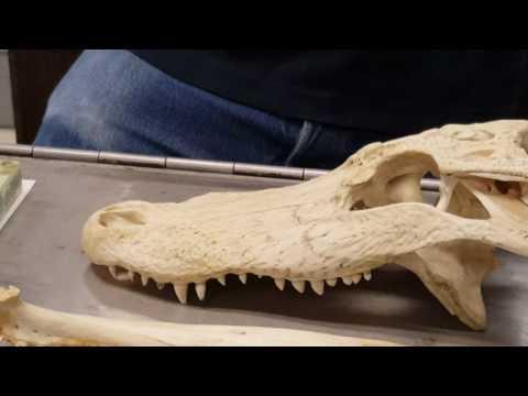 Amphibian, Reptile, Bird Skull | Comparative Vertebrate Anatomy