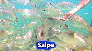 Salpe Mangiano dalla Mano a Flumini ~ 7 Luglio 2019 | Animali in Sardegna