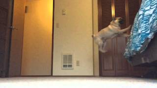 Pug Jumps On Bed In Slow Motion