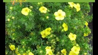 видео Астра: посадка и уход в открытом грунте, выращивание и сочетание в ландшафтном дизайне, фото, размножение сорта