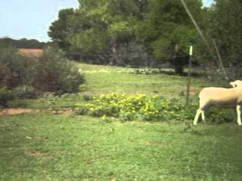 White Hair Sheep Ewe Lambs For Sale in Texas