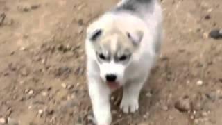 Щенки сибирского хаски / Siberian Husky Puppies - Wiliam & Dusya First Litter