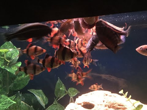 TIGER BARB FRENZY!  Feeding BLOOD WORMS with Convicts, Jewels and African Cichlids!!!