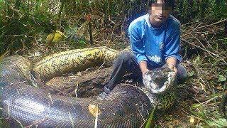 In Brasile catturano un serpente gigantesco!LE DIMENSIONI FANNO IMPRESSIONE