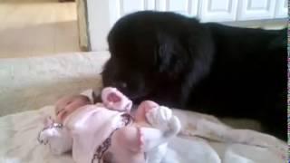 Ньюфаундленд и ребенок Улетное видео!!!